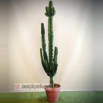 Büyük Euphorbia Kaktüs