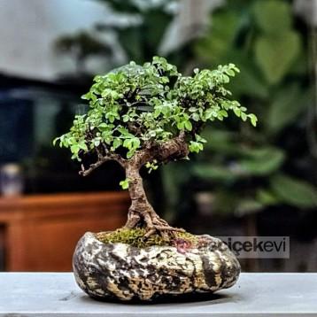 Zelkova Bonsai