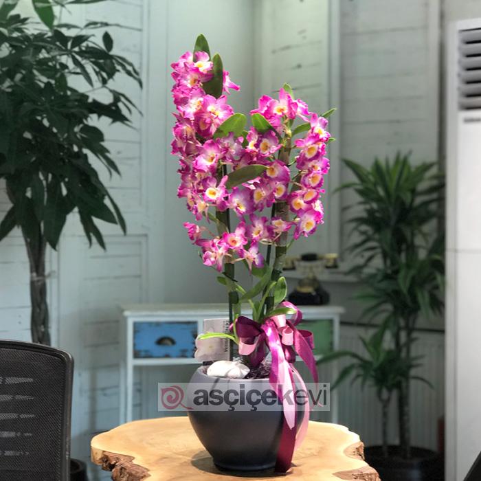Dendrobium - Bambu Orkide