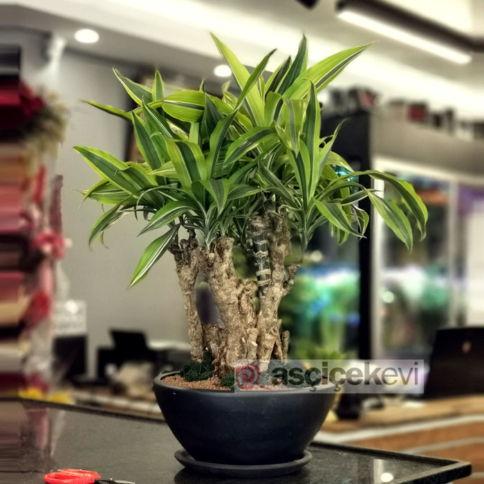Dracaena Fragrans - Lemon Lime-