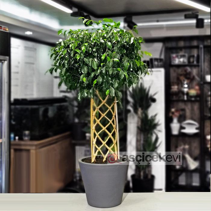 Ficus Exotica - Örgülü Benjamin