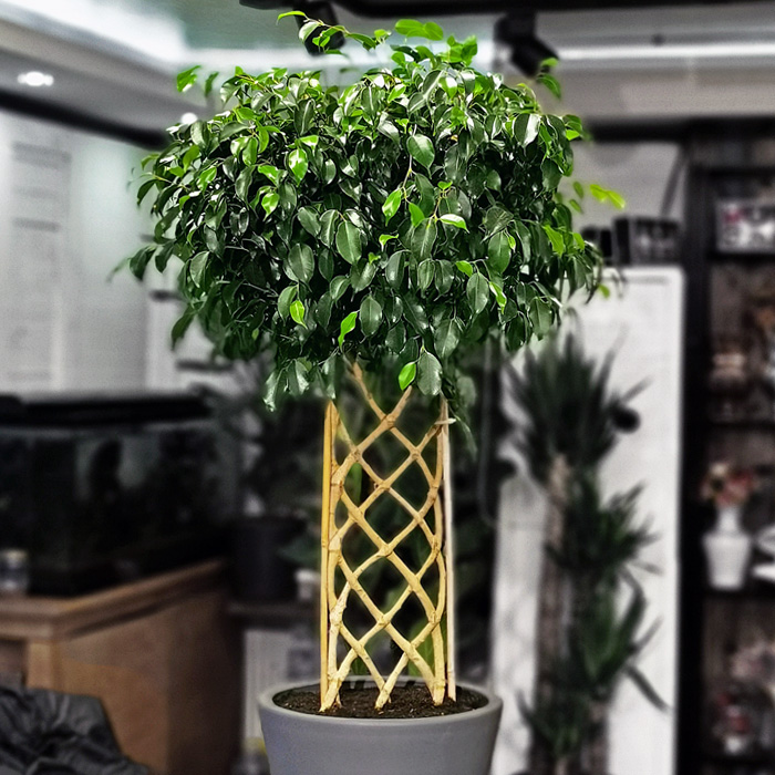 Ficus Exotica - Örgülü Benjamin alt