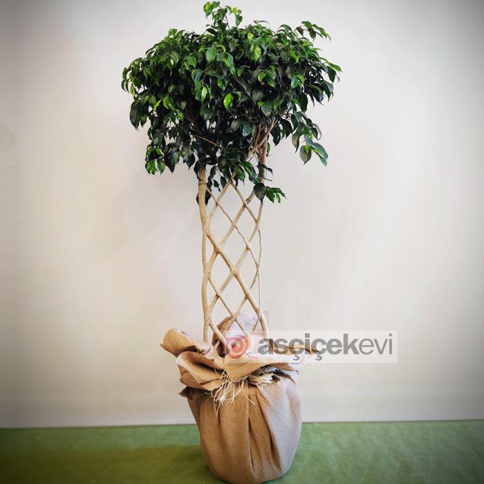 Örgülü Benjamin - Ficus Exotica