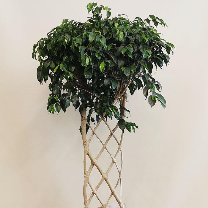 Örgülü Benjamin - Ficus Exotica alt