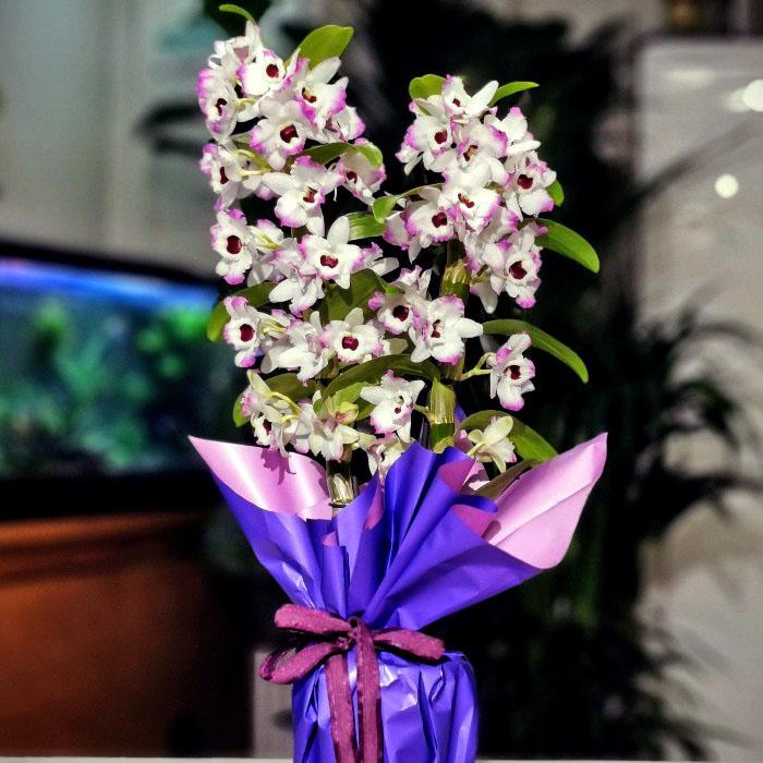 Kokulu Dendrobium Orkide alt