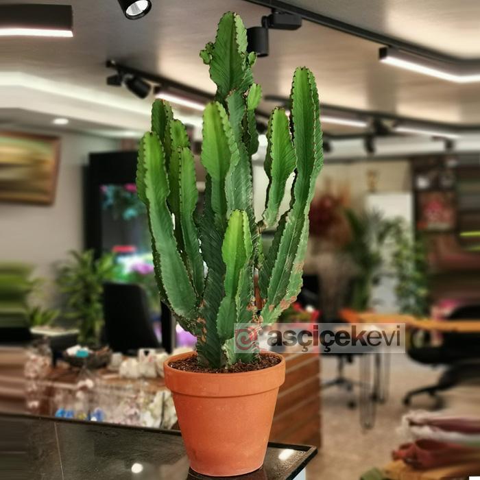 Euphorbia İngens - Şamdan Ağacı