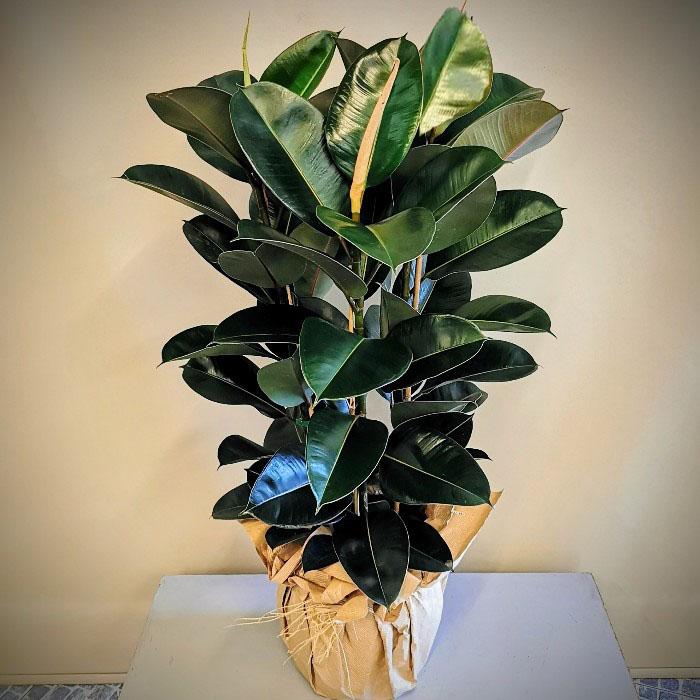 Kauçuk Bitkisi - Ficus Elestica alt