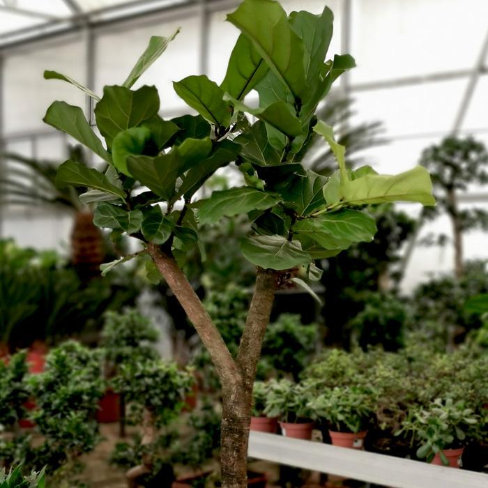 Ficus Lyrata Ağacı alt
