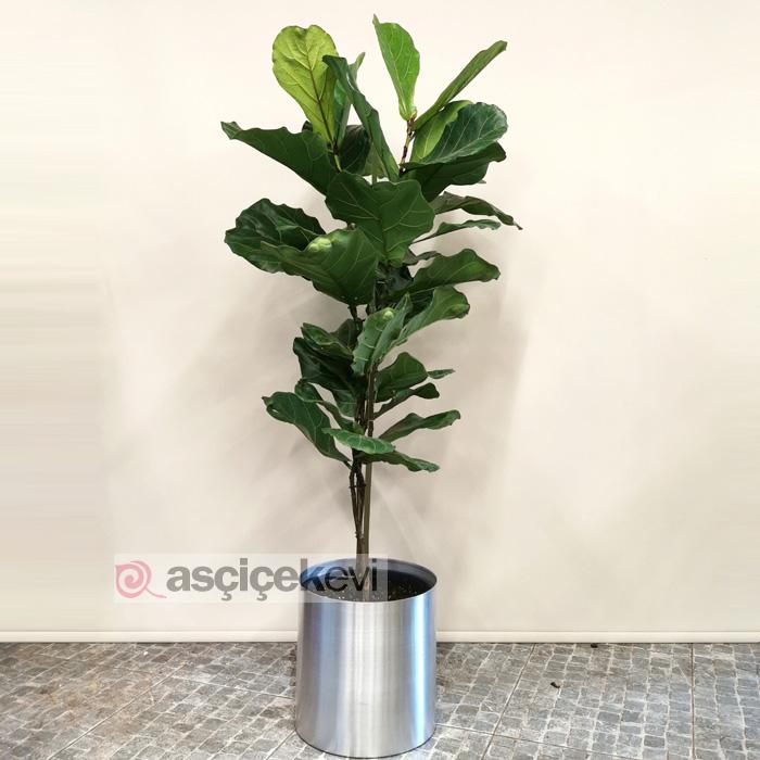 Ficus Lyrata - Keman Yaprağı İncir