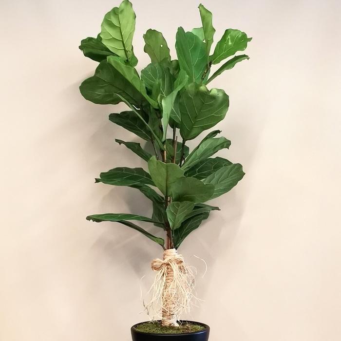 Ficus Lyrata - Keman Yaprağı İncir alt