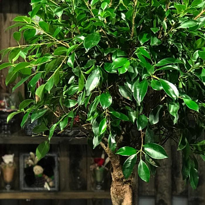 Ficus Nitida alt