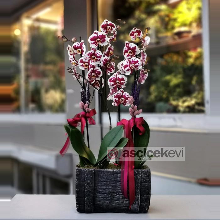 Floriclone Polka Dots Orkideler