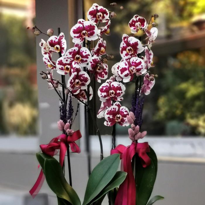 Floriclone Polka Dots Orkideler alt