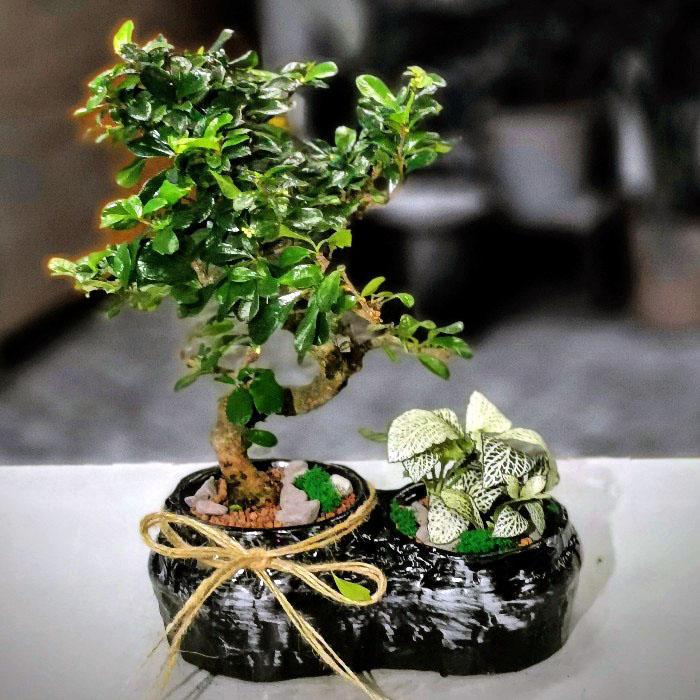 Fukien Tea Bonsai alt