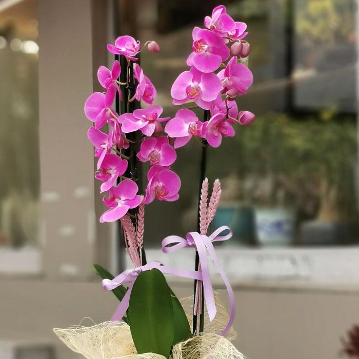 2 Dallı Fuşya Orkide alt