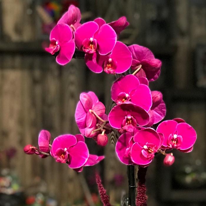 Tek Dal Fuşya Orkide alt