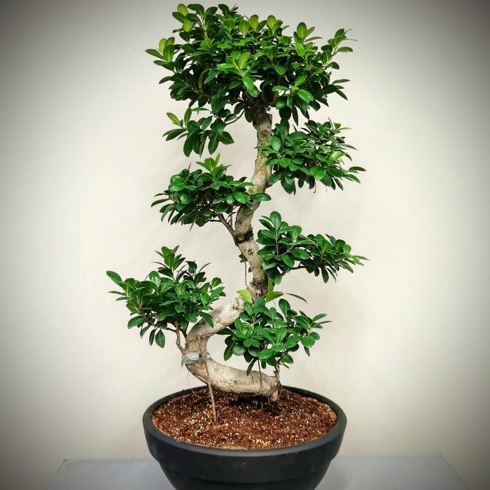 Ginseng Bonsai - 100cm alt