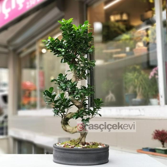 Ginseng Bonsai - 90cm