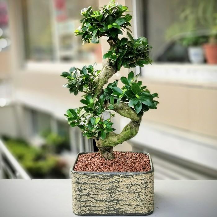 Ficus Microcarpa Bonsai alt