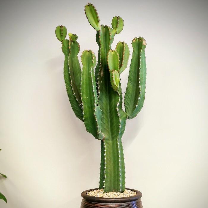 Euphorbia İngens - Şamdan Ağacı alt