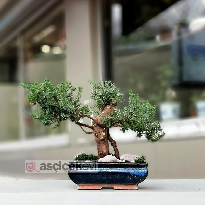 Yeşil Ardıç - Juniperus Bonsai