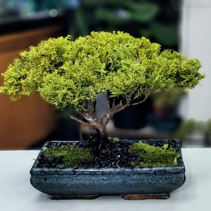 Juniperus Old Gold Bonsai alt