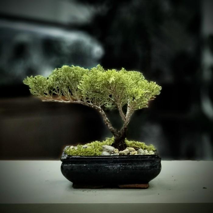 Ardıç Bonsai - Juniperus