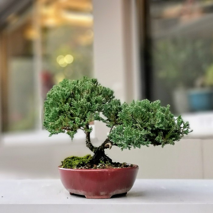 Juniperus Bonsai