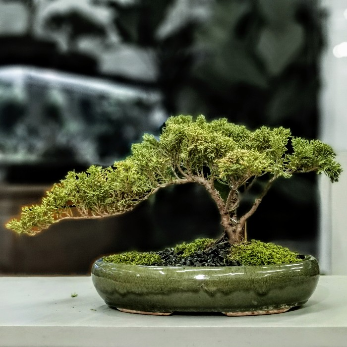 Cascade Juniperus Bonsai