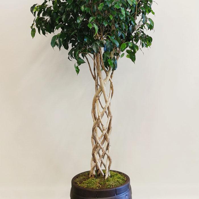 Kafes Örgü Ficus alt