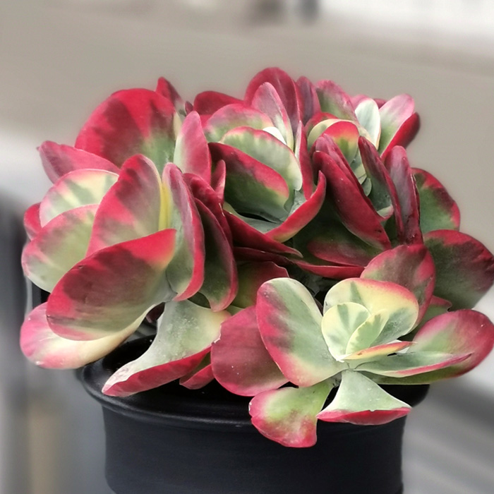Kalanchoe Thyrsiflora Red Lips alt