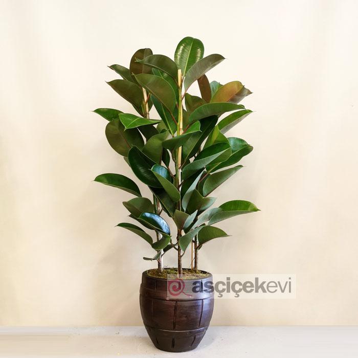 Kauçuk - Ficus Elestica Robusta