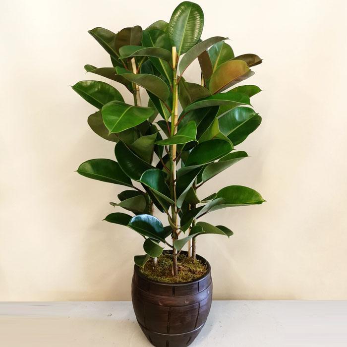 Kauçuk - Ficus Elestica Robusta alt