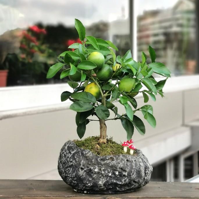 Kayada Limon Bonsai