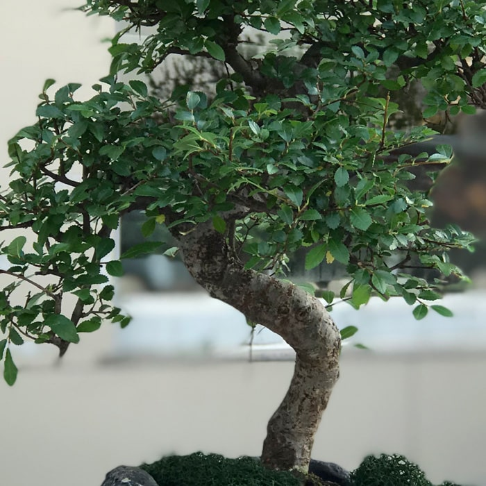 Kayadaki Bonsai alt
