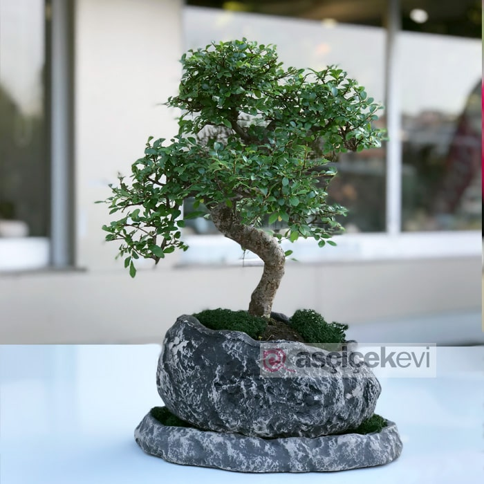 Kayadaki Bonsai