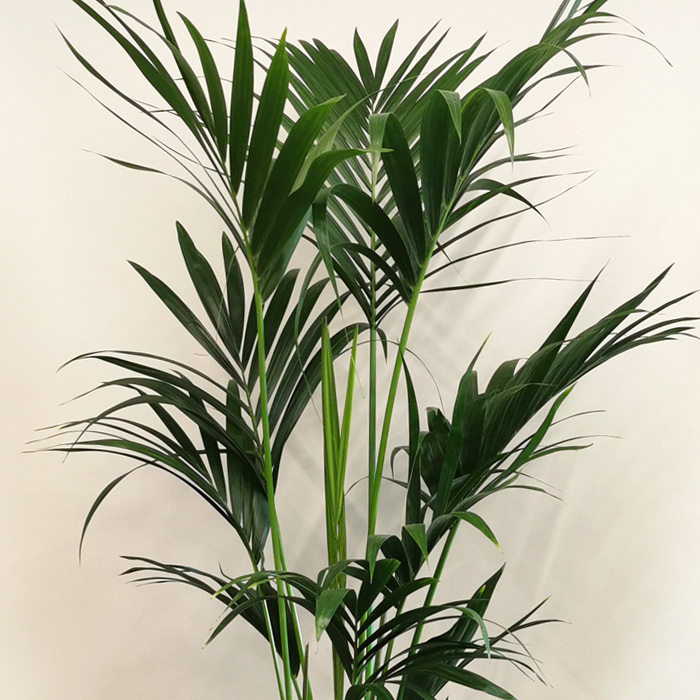 Kentia Bitkisi(Howea Palm) alt