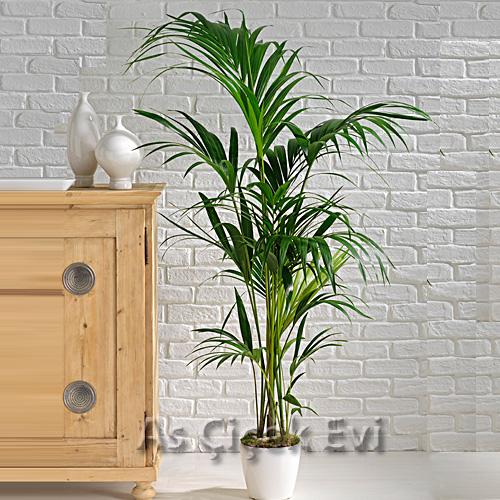 Kentia Bitkisi(Howea Palm)