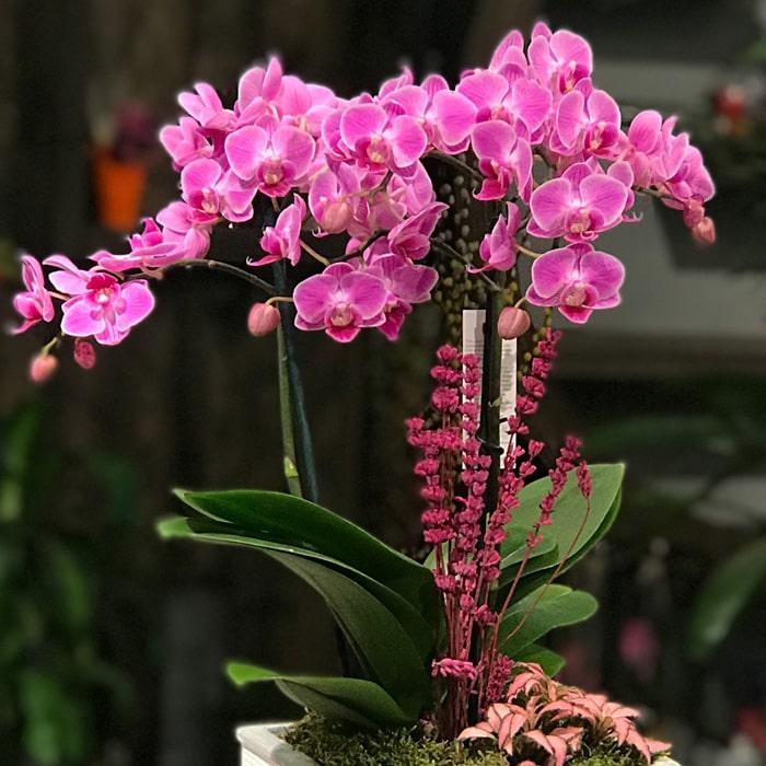 Kitapta Midi Orkide alt