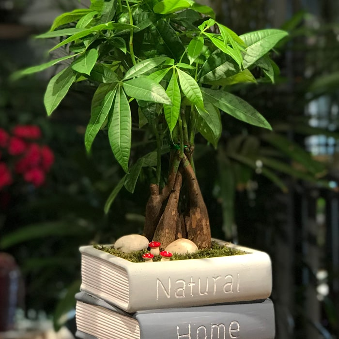 Kitap Saksıda Pachira Ağacı alt