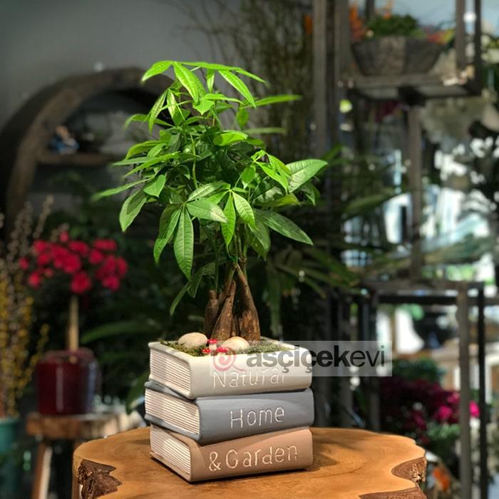 Kitap Saksıda Pachira Ağacı