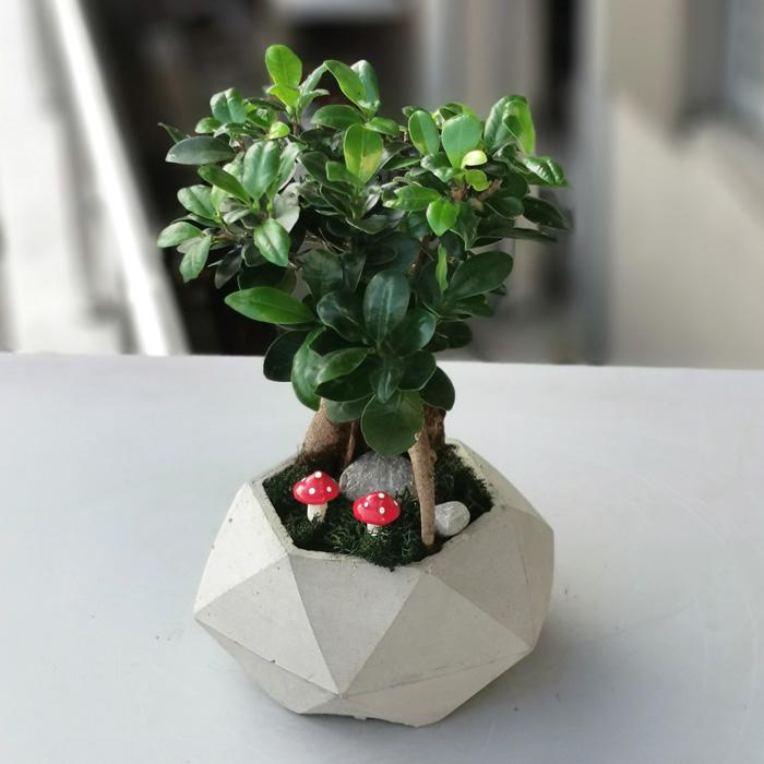 Küçük Ginseng Bonsai alt