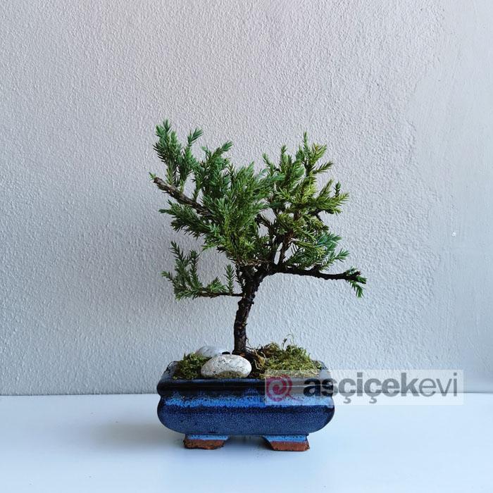 Juniperus - Ardıç Bonsai