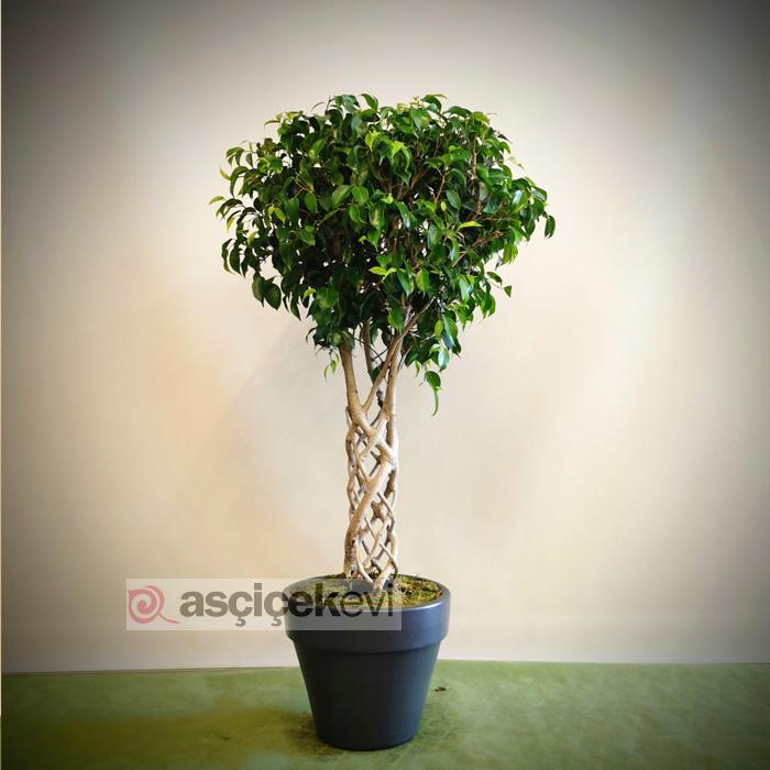 Kafes Örgü Ficus
