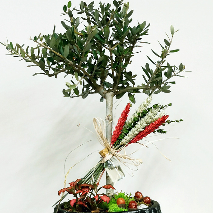 Minyatür Zeytin Ağacı alt