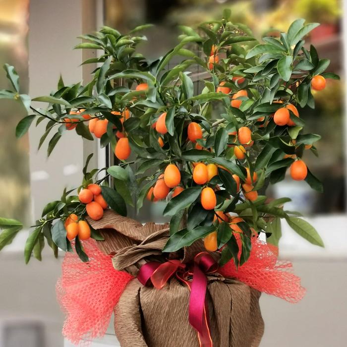 Kumquat - Kamkat Ağacı alt