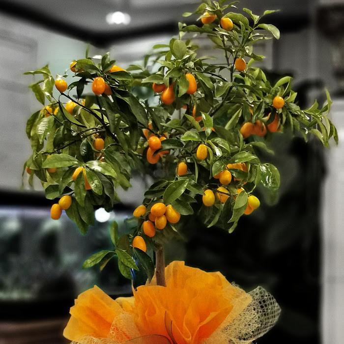 Kamkat - Kumquat Ağacı alt