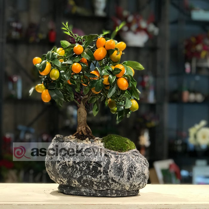 Kumkuat Bonsai