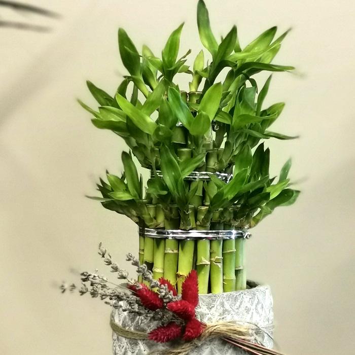 Lucky Bamboo - Şans Çiçeği alt