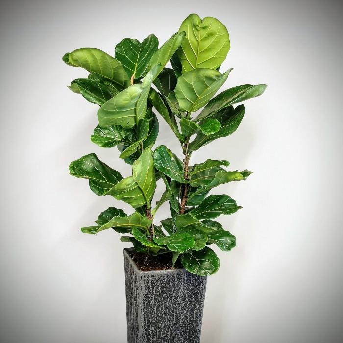 Ficus Lyrata alt